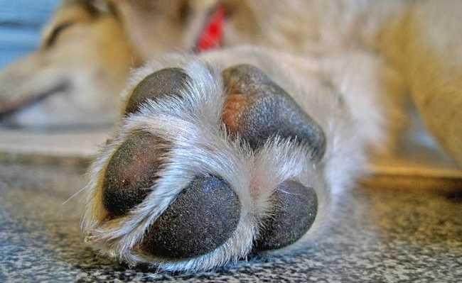 patinha de cachorro