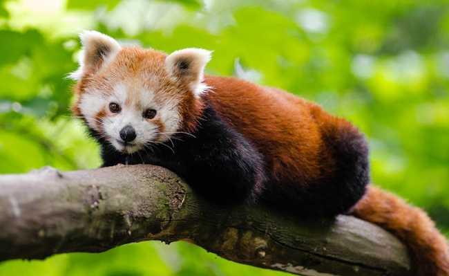 Filhote de panda vermelho - espécie em extinção