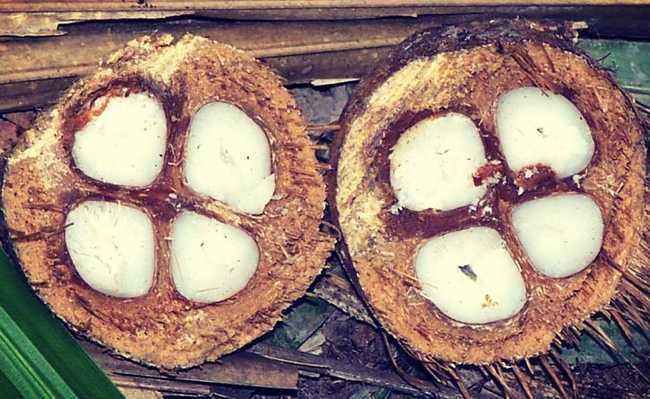 coco babaçu