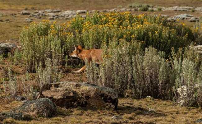 lobo-etíope