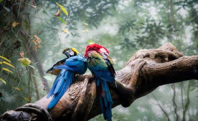Araras na Amazônia
