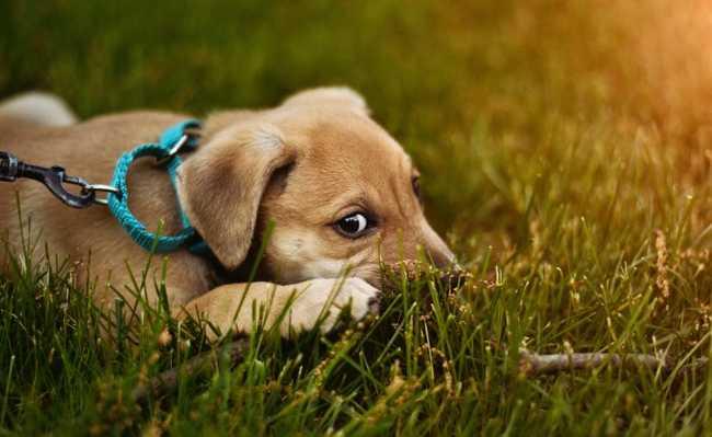 Própolis é bom para doenças de pele em cachorro e outros animais de estimação