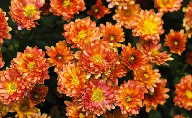 Crysanthemum morifolium
