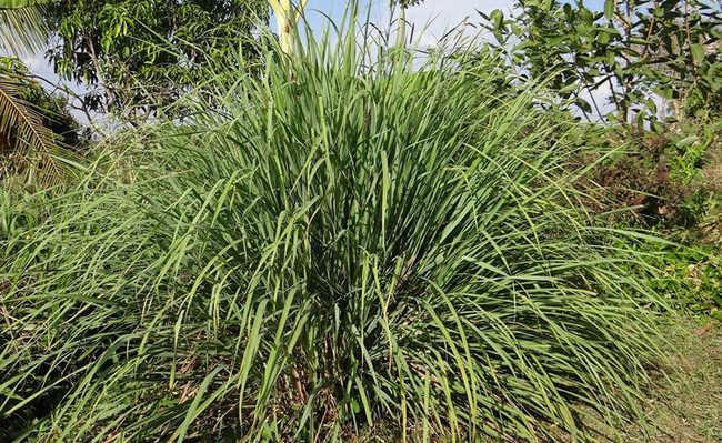 Plantas que funcionam como repelente natural