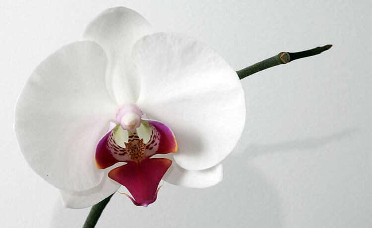 Orquídea borboleta (Phalaenopsis)