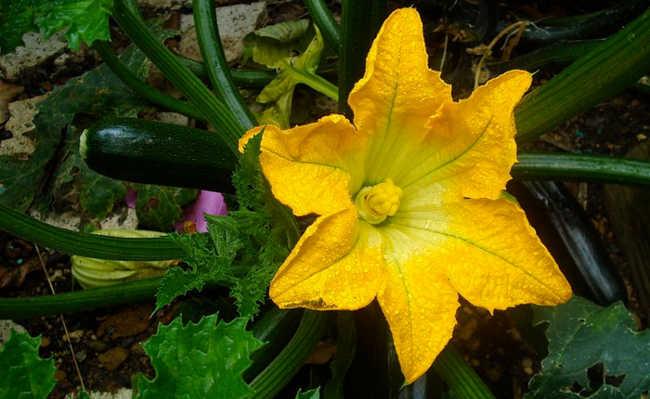 flor de abóbora