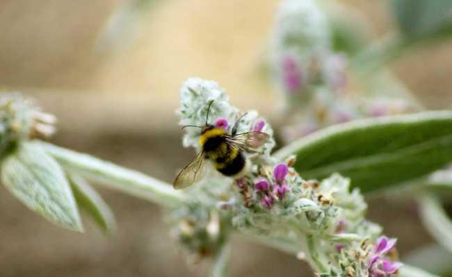 uber abelha
