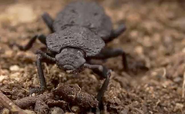 besouro resistente