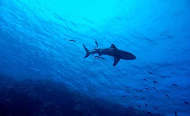 tubarão extinção