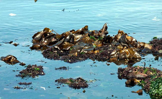Kelp: alga marinha
