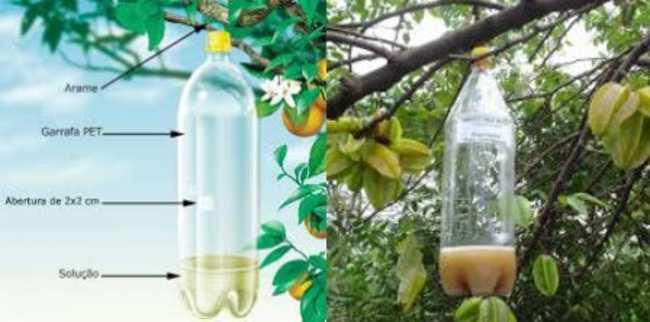 Estratégia para atrair moscas e moscas brancas