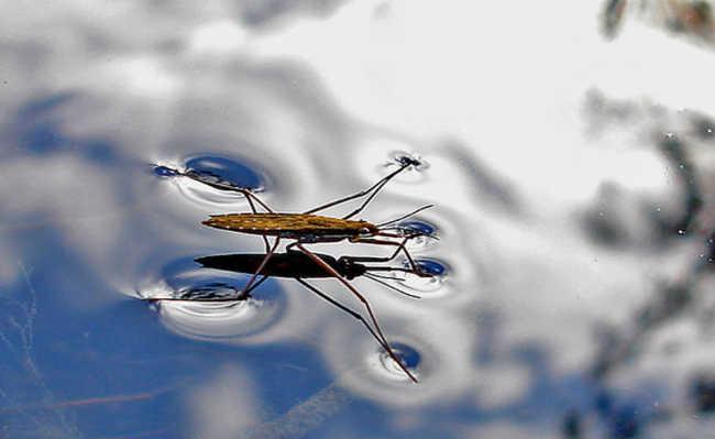 Caminhar sobre água (como no caso de alguns insetos)