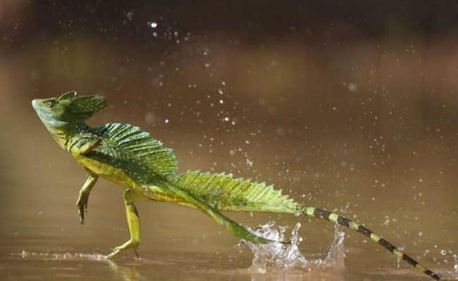 Lagarto basilisco (Basiliscus basiliscus) que possui a habilidade de correr sobre as águas, graças à anatomia de suas patas traseiras, somada à sua grande velocidade e à tensão superficial da água