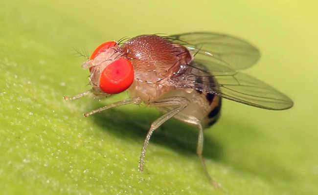 como eliminar drosófila?