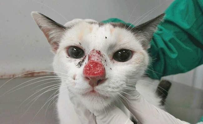 Gato com a doença Esporotricose