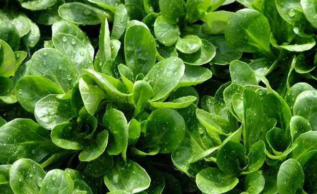 Alimentos que ajudam a emagrecer: Folhosos