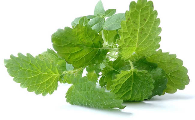 Ervas e plantas medicinais: Erva-cidreira