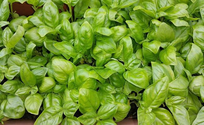 Ervas e plantas medicinais: Manjericão