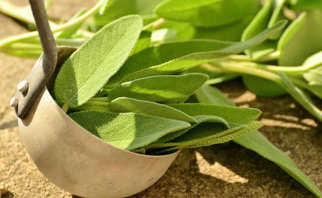 Ervas e plantas medicinais: Sálvia