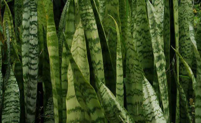 Plantas de sombra total