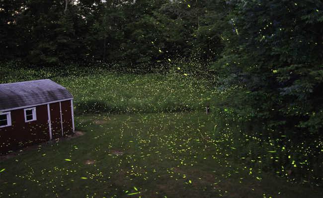 os vaga-lumes estão desaparecendo