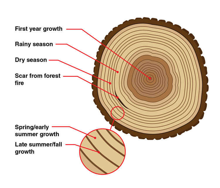 Explicação dos anéis concêntricos de árvores