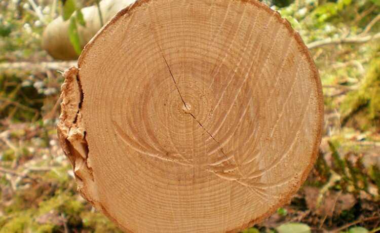 Anéis concêntricos de árvores