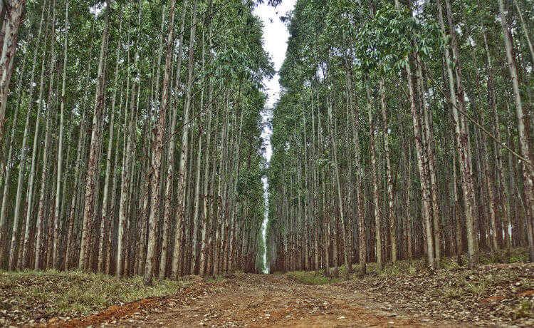 Floresta plantada, eucalipto