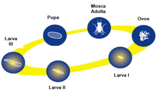 fases da mosca