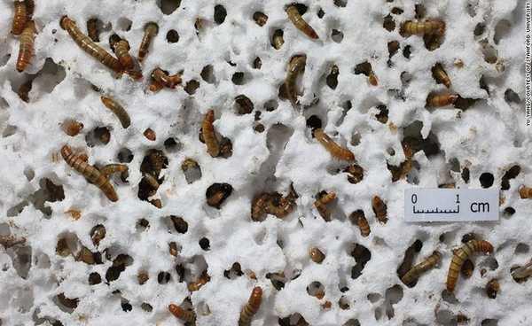 larvas de cor âmbar,comendo isopor branco.