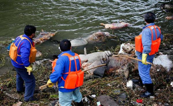 Porcos mortos retirados do rio Huangpu