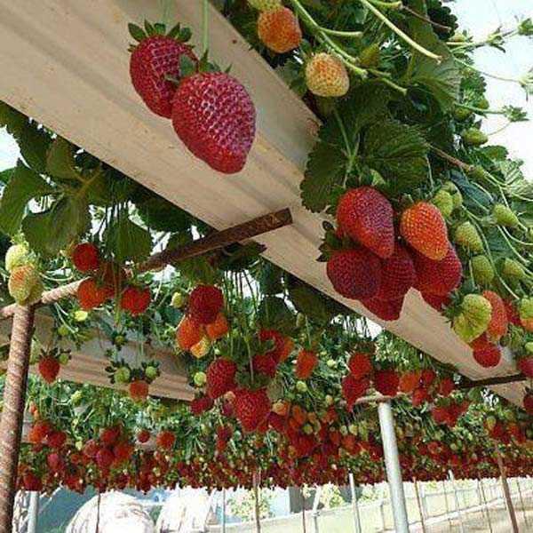 Plantação morango