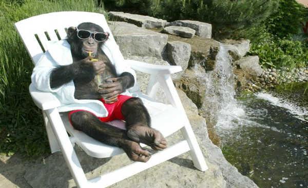 macaco bebendo