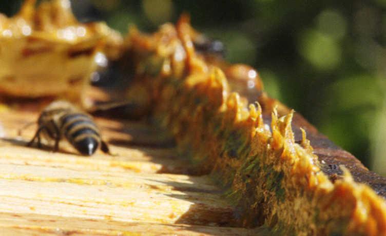 Própolis é natural e repleto de benefícios à saúde