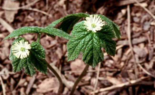 Planta pode ser usada como na produção de remédios naturais antiferida