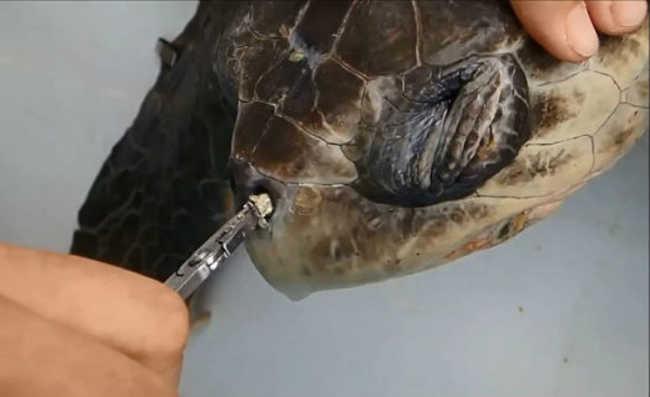 canudo de plástico preso em narina de tartaruga