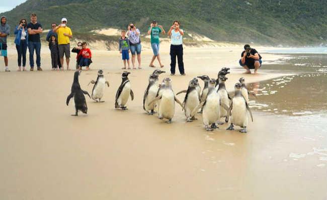 Pinguins na praia