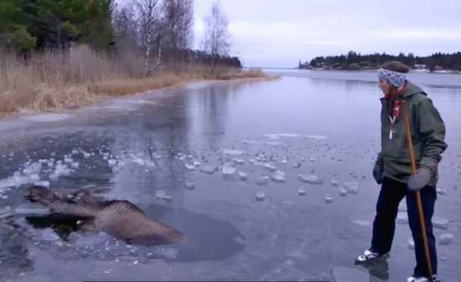 Resgata alce em lago congelado