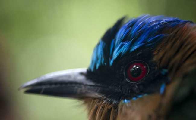 Udu-de-coroa-azul (Momutus momota