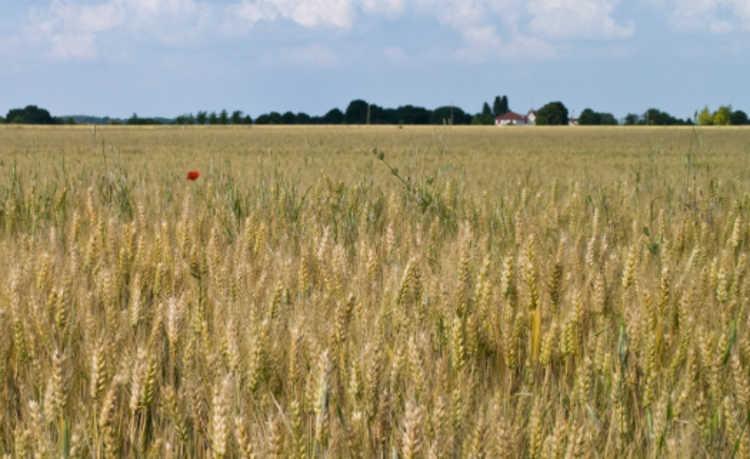 campo-de-trigo-aquecimento-global