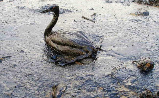 Pássaro com óleo, derramamento de óleo do Mar Negro