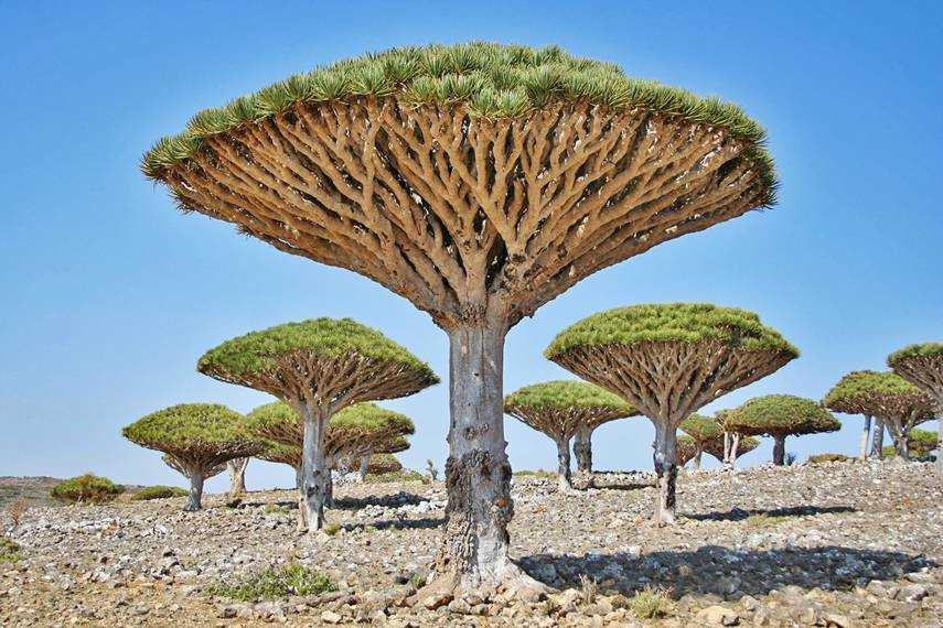 Árvores de sangue do dragão, Socotra, Yemen