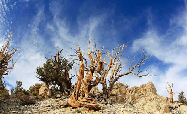 Ancient Bristlecone Pine Forest, Califórnia, Estados Unidos