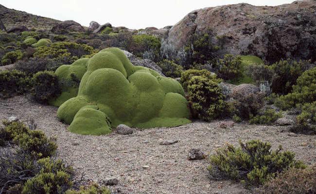 Chile: no Deserto do Atacama, a planta Azorella compacta, da família das Apiaceae, possui cerca de três mil anos