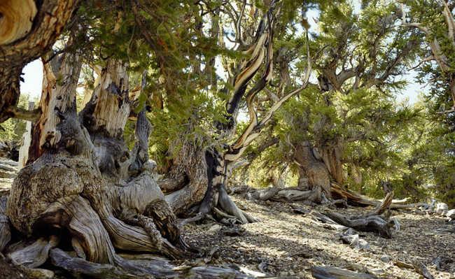 Estados Unidos: na Califórnia, pinheiro Bristlecone tem mais de cinco mil anos