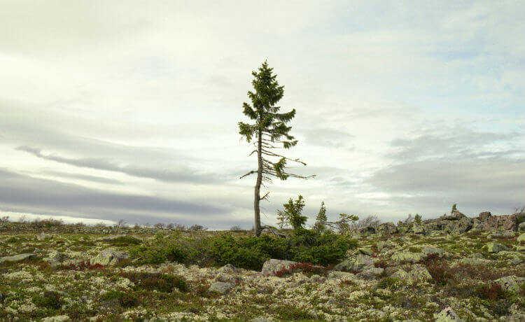 Suécia: árvore conífera tem cerca de 9,5 mil anos